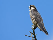 Juvenile Peregrine Falcon Royalty Free Stock Photography