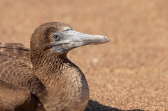 Juvenile Peruvian Booby Stock Photo