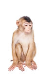 Juvenile Pig-tailed Macaque, Macaca nemestrina, on white Royalty Free Stock Image