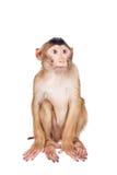 Juvenile Pig-tailed Macaque, Macaca nemestrina, on white Stock Photos