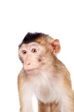 Juvenile Pig-tailed Macaque, Macaca nemestrina, on white Stock Images