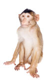 Juvenile Pig-tailed Macaque, Macaca nemestrina, on white. Juvenile Pig-tailed Macaque, Macaca nemestrina, isolated on white Royalty Free Stock Photography