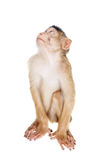 Juvenile Pig-tailed Macaque, Macaca nemestrina, on white Royalty Free Stock Photography