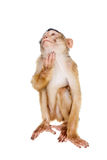 Juvenile Pig-tailed Macaque, Macaca nemestrina, on white Royalty Free Stock Images