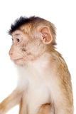 Juvenile Pig-tailed Macaque, Macaca nemestrina, on white. Juvenile Pig-tailed Macaque, Macaca nemestrina, isolated on white Stock Images