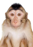 Juvenile Pig-tailed Macaque, Macaca nemestrina, on white. Juvenile Pig-tailed Macaque, Macaca nemestrina, isolated on white Stock Image