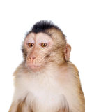 Juvenile Pig-tailed Macaque, Macaca nemestrina, on white Stock Photo