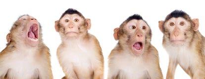 Juvenile Pig-tailed Macaque, Macaca nemestrina, on white Royalty Free Stock Photos