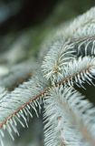 Juvenile pine needles. Macro view of juvenile pine tree needles on branch Stock Images