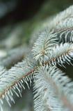 Juvenile pine needles Stock Images