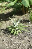 A Juvenile Pineapple Plant growing in the tropical sun. This is a stock image of a juvenile pineapple plant growing in the sun stock images