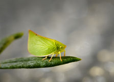 Juvenile Plant Hopper Royalty Free Stock Photos