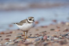 Juvenile Plover Royalty Free Stock Image