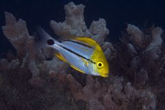 Juvenile Porkfish. Anisotremus virginicus, picture taken in south east Florida Royalty Free Stock Photo