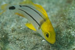 Juvenile Porkfish-Anisotremus virginicus Stock Photography