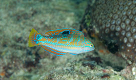 Juvenile Puddingwife Royalty Free Stock Images