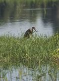 Juvenile purple heron stood in reeds of river marshland Royalty Free Stock Photo