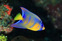Juvenile Queen angelfish. (Holacanthus ciliaris) in the coral reef of the caribbean sea Royalty Free Stock Photography