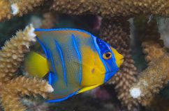 Juvenile Queen Angelfish-Holocanthus ciliaris Stock Image
