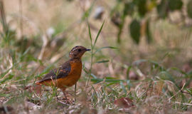 A juvenile Rüppell's Robin Chat Stock Photography