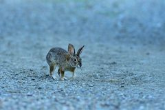 A  Juvenile Rabbit. Is in full alert and trying to find the source of the sound royalty free stock image
