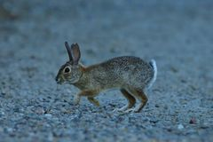 A  Juvenile Rabbit. Is in full alert and trying to find the source of the sound stock photography