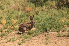 Juvenile rabbit, Sylvilagus bachmani, wild brush rabbit. On a hiking path in Irvine, Southern California in Spring Royalty Free Stock Photography