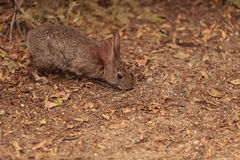 Juvenile rabbit, Sylvilagus bachmani, wild brush rabbit. On a hiking path in Irvine, Southern California in Spring Stock Photo