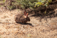 Juvenile rabbit, Sylvilagus bachmani, wild brush rabbit. On a hiking path in Irvine, Southern California in Spring Stock Image