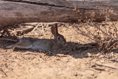 Juvenile rabbit, Sylvilagus bachmani, wild brush rabbit rests under a log in Irvine. Southern California in Spring Stock Images