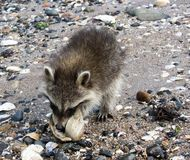 A juvenile raccoon on the beach eating a clam. A baby raccoon prying open a large white on a sandy beach by the ocean stock image