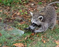 A baby raccoon playing with a hose. A juvenile raccoon entertaining herself with the spray from a garden hose stock photo