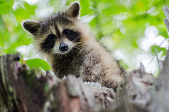 Juvenile Raccoon Peering down at me. Juvenile Raccoon Peering from tree in Georgia Stock Images