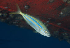 Juvenile Rainbow Runner Stock Photos