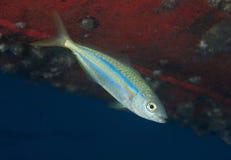 Juvenile Rainbow Runner Stock Photos