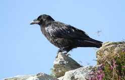 A juvenile Raven Corvus corax perched at the top of a mountain. Stock Image