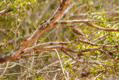 Juvenile Red-backed Shrike. The plain and conspicuous colors of the juvenile Red-backed Shrike - Lanius collurio - allow him to merge into the branches and twigs Royalty Free Stock Image