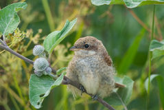 Juvenile Red-Backed Shrike portrait Stock Images