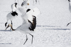 Juvenile Red Crowned Crane Lands in Deep Snow Stock Image