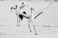 Juvenile Red Crowned Crane Practices Courtship Dance Royalty Free Stock Image
