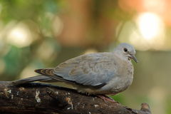 Juvenile Red-eyed Dove Royalty Free Stock Image