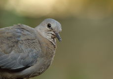 Juvenile red-eyed dove portrait Stock Photos