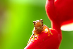 Juvenile red-eyed tree frog Royalty Free Stock Photos