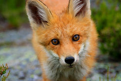 Juvenile red fox. Portrait of juvenile red fox outdoors Royalty Free Stock Images