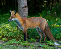 Juvenile Red Fox. Juvenile Male Red Fox standing in the forest Royalty Free Stock Photos