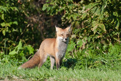 Juvenile Red Fox. Juvenile Male Red Fox standing on the edge of the forest Royalty Free Stock Photos