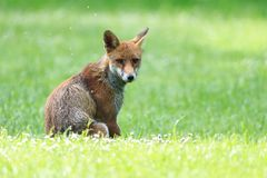 A juvenile red fox sitting on the grass looking back stock images