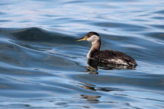 Juvenile Red-necked Grebe Stock Image
