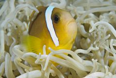 Juvenile Red Sea anemonefish. Stock Photos