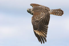 Juvenile Red-shouldered Hawk Royalty Free Stock Photo